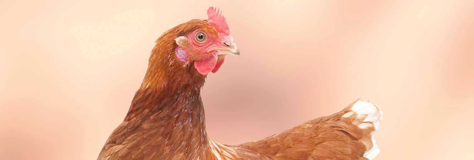 poultry production in Kenya